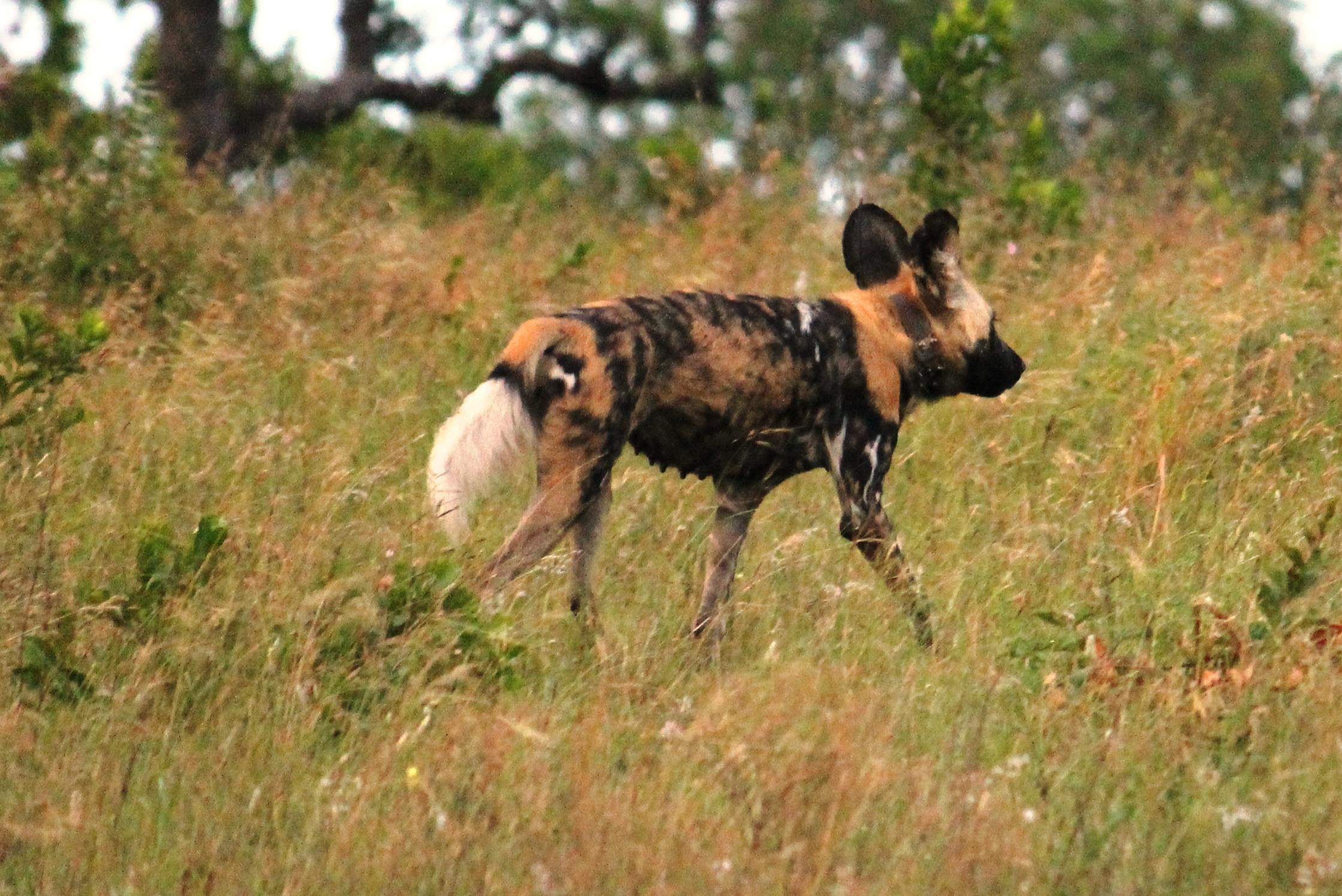 Wild dogs from Underdogs to Top Dogs – uMkhuze section, iSimangaliso ...