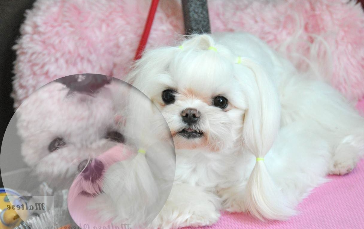 Asian Dog GroomMaltese Obsession | Maltese Obsession