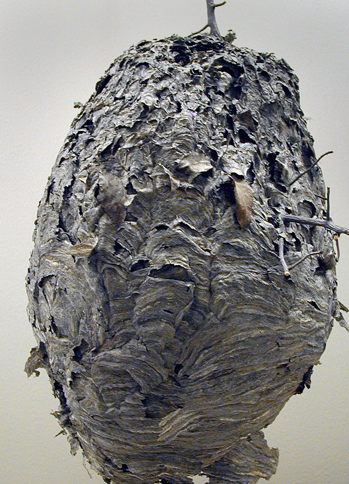 Black wasps nests