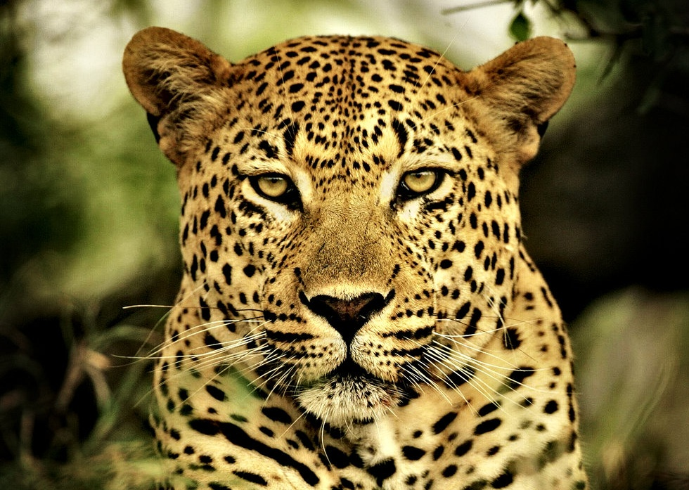 Wild Poetry – I am Leopard.