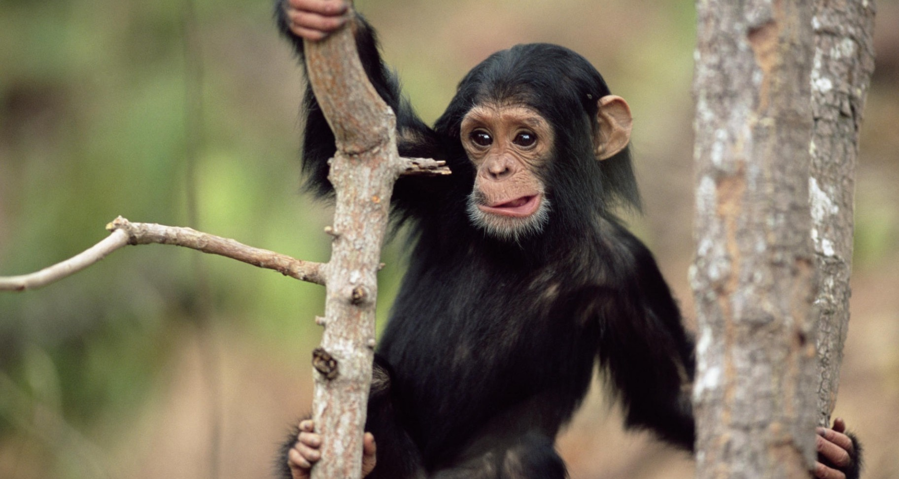 picture of chimpanzee monkey