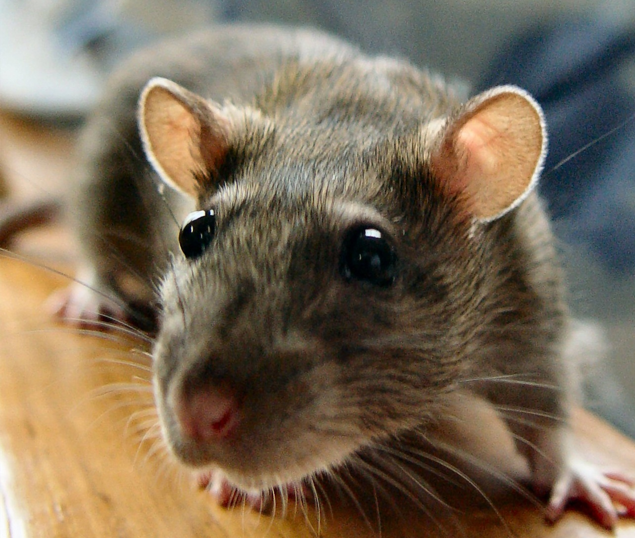 Rodents are able to move their eyes in different directions, thus ...