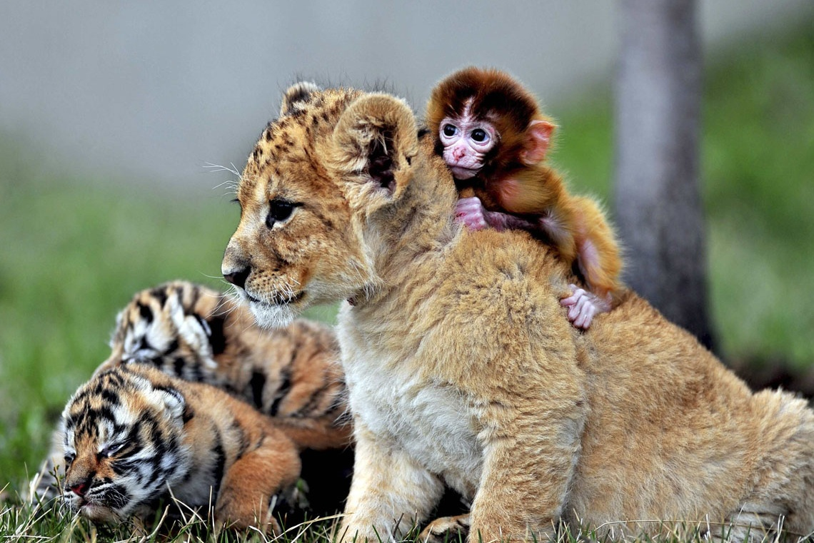 baby monkey, a lion cub and tiger cubs play at the Guaipo Manchurian ...