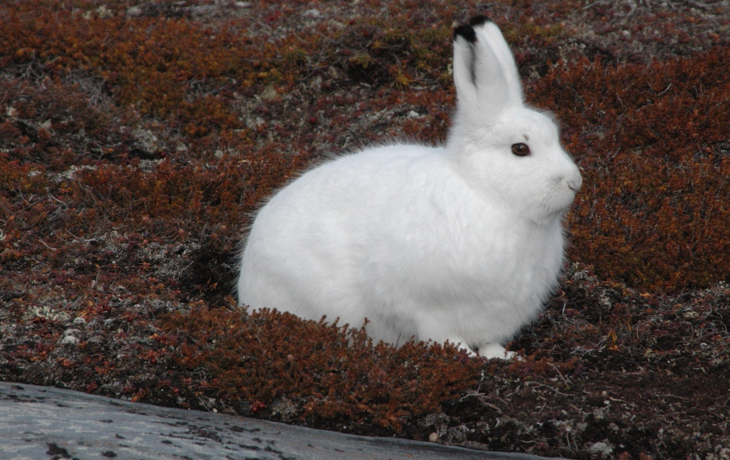 Arctic Hare - Pictures, Diet, Breeding, Life Cycle, Facts, Habitat ...