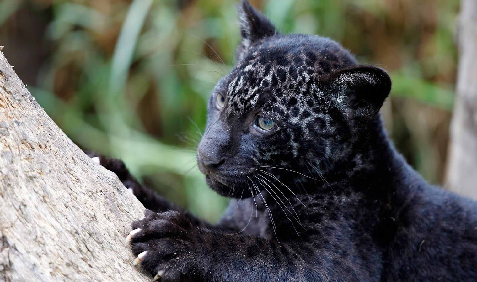 Black Panther in Kumbhalgarh Wildlife Sanctuary