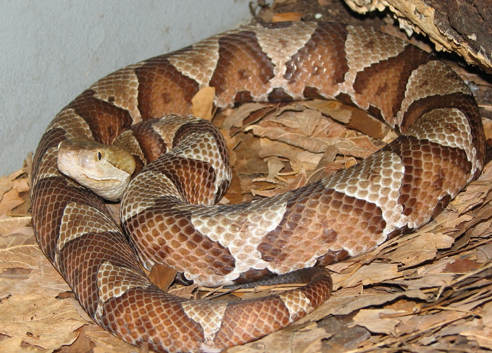 Kentucky's Venomous Snakes | Snakes and Spiders
