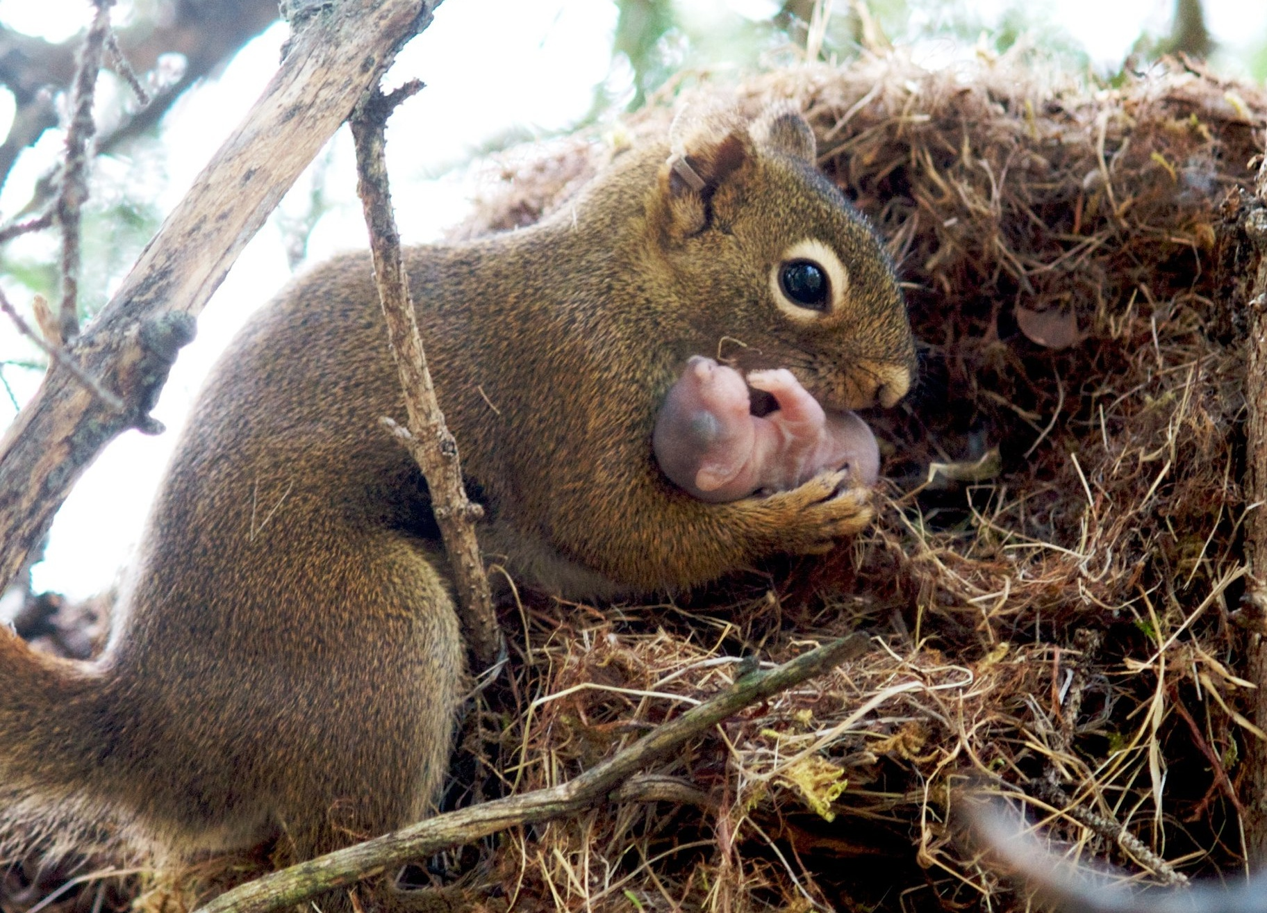 Red squirrel taking an adopted baby from nest. (Photo/Ryan W. Taylor)