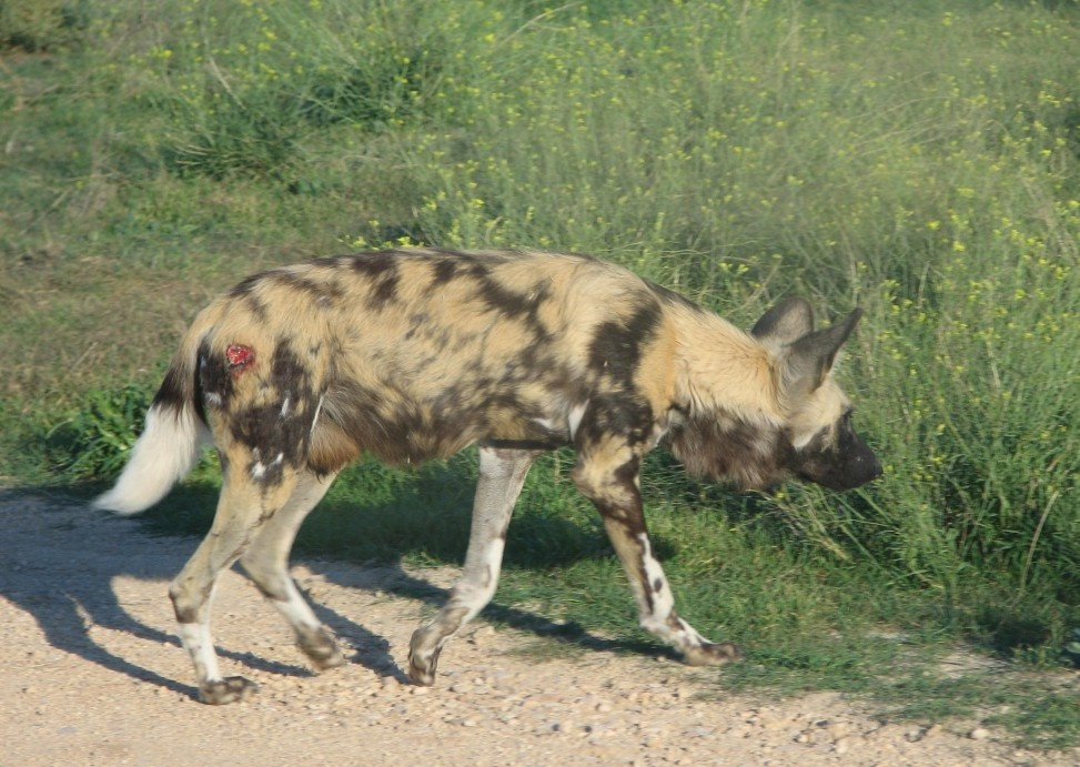 African Wild Dogs, Monarto Zoo, South Australia - Trevor's Travels