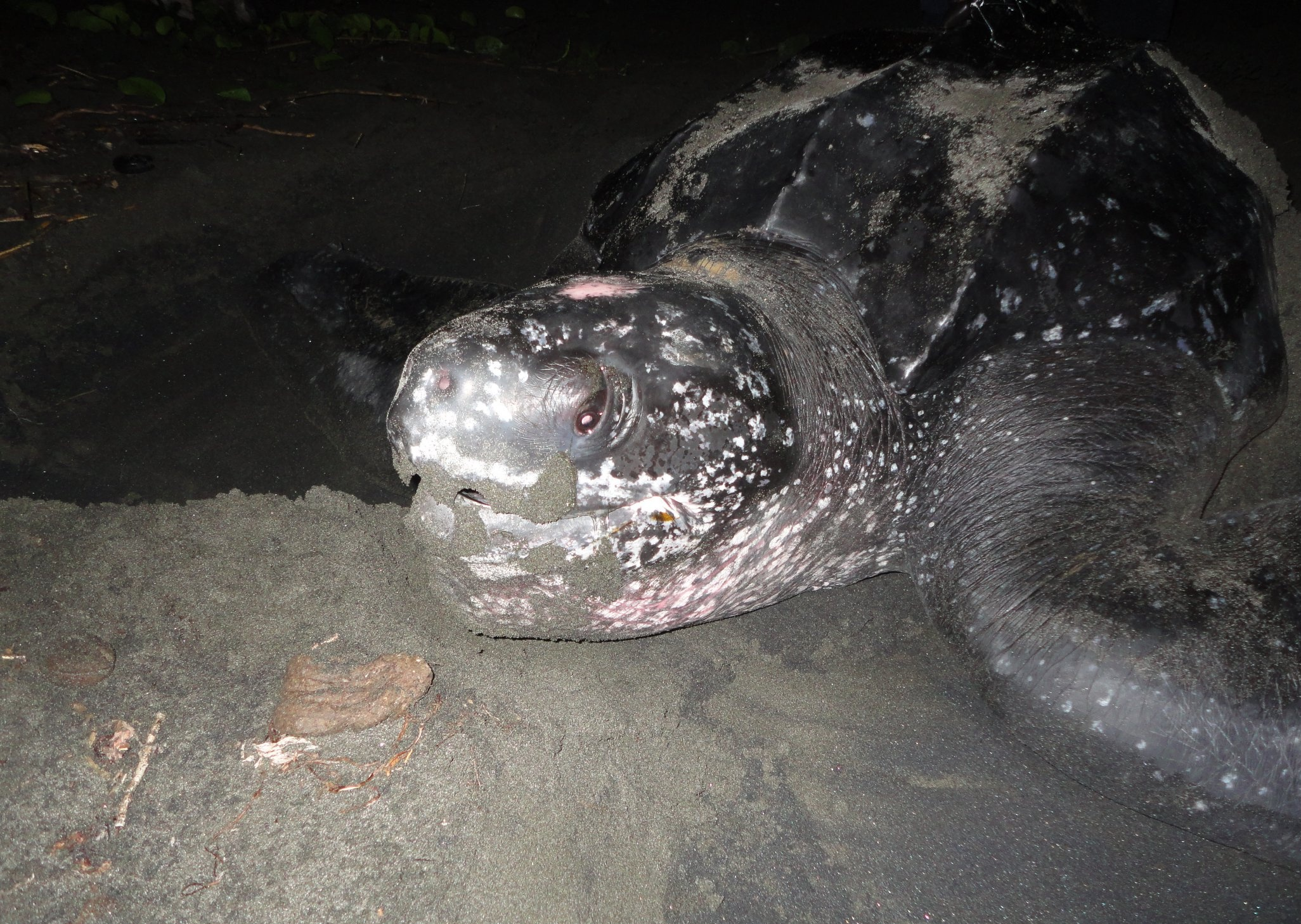 Leatherback sea turtle in Soropta Beach, Panama.