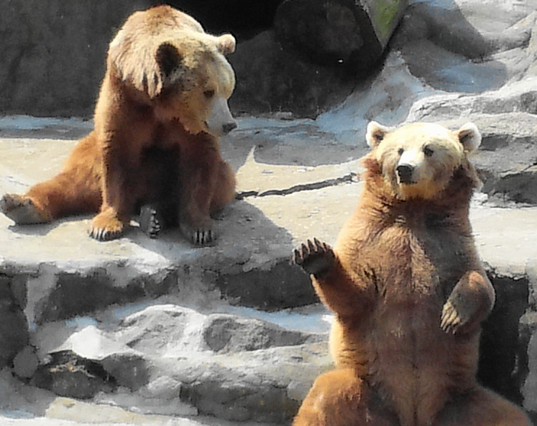 Waving Bear at Seoul Zoo – Photo Wednesday | Modern Seoul