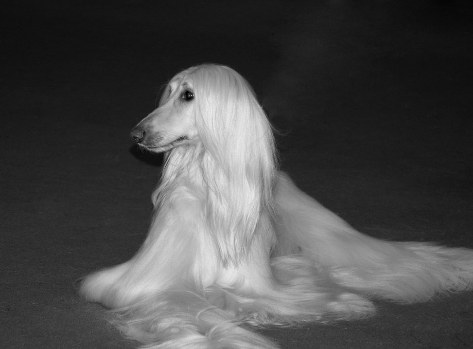 Afghan Hound | Photography Click As Your Mod