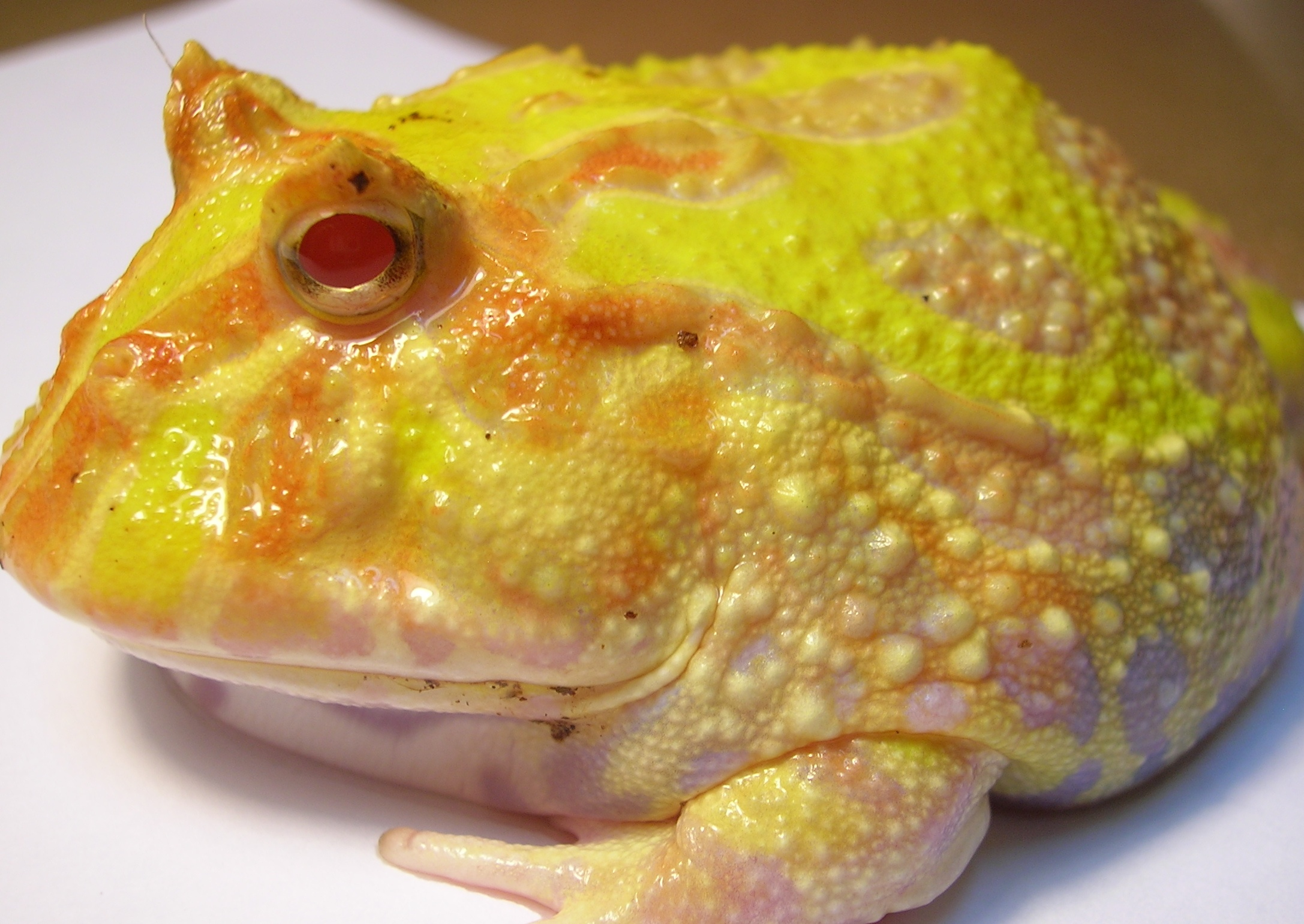 Description Ceratophrys ornata (Pacman Frog).JPG