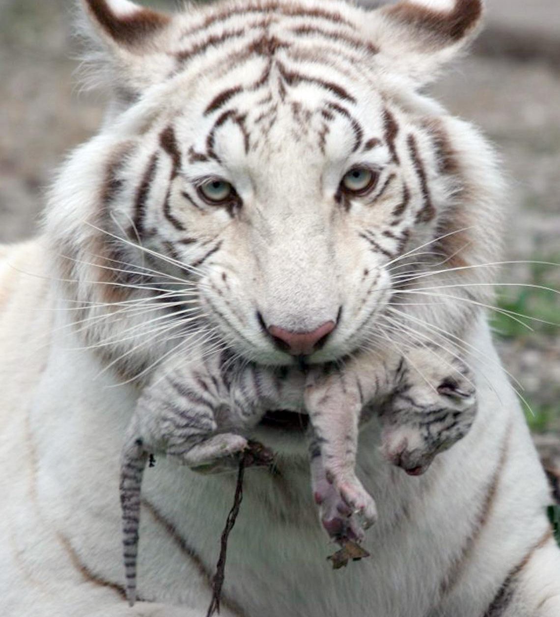 white tiger holding baby - photo #3