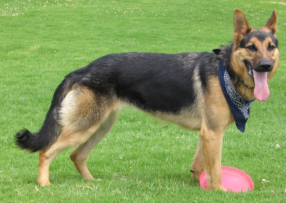 german shepherd dog history the german shepherd is a relatively new ...