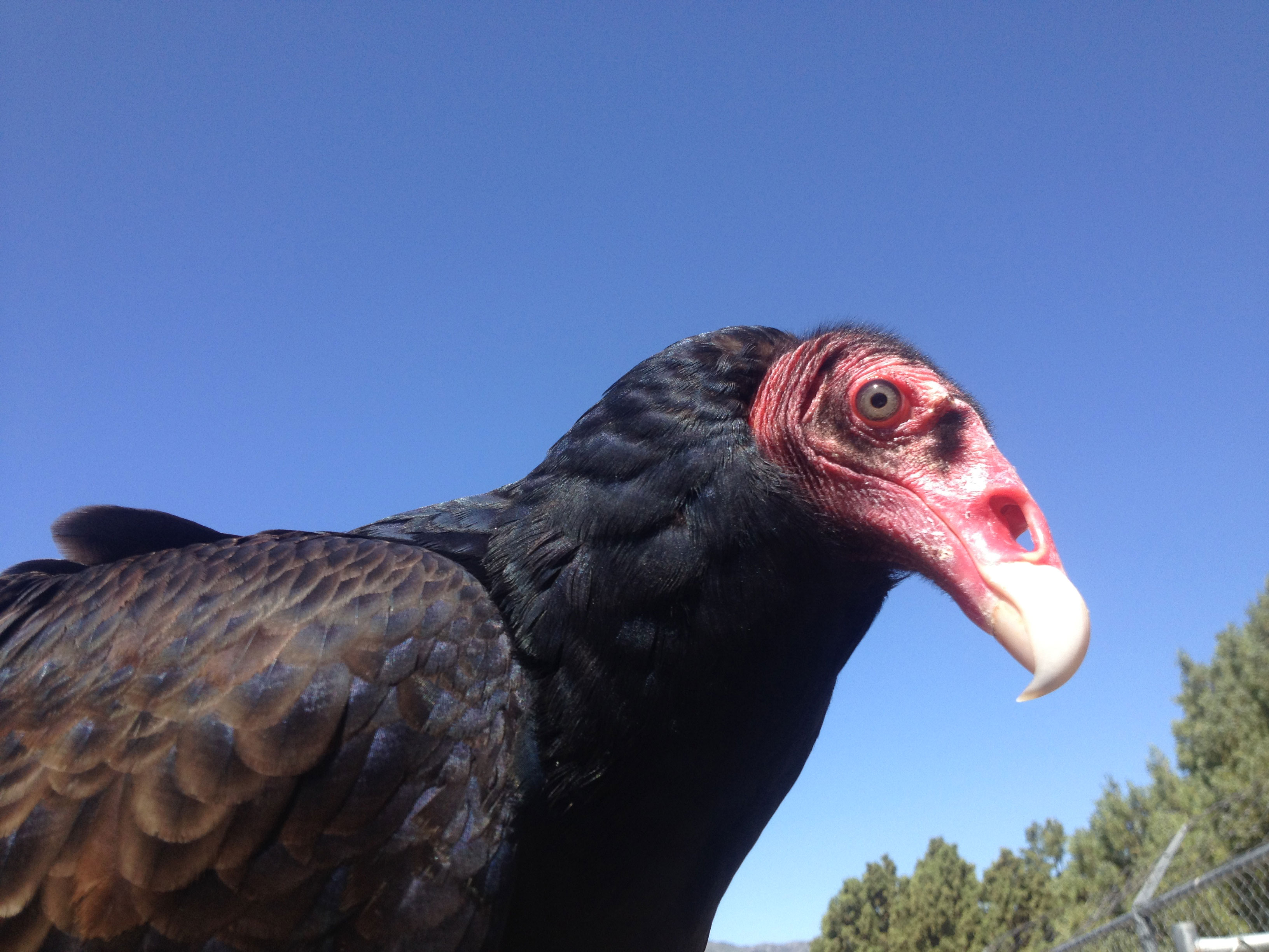 turkey vultures Information and facts about the turkey vulture from squam lakes natural science center.