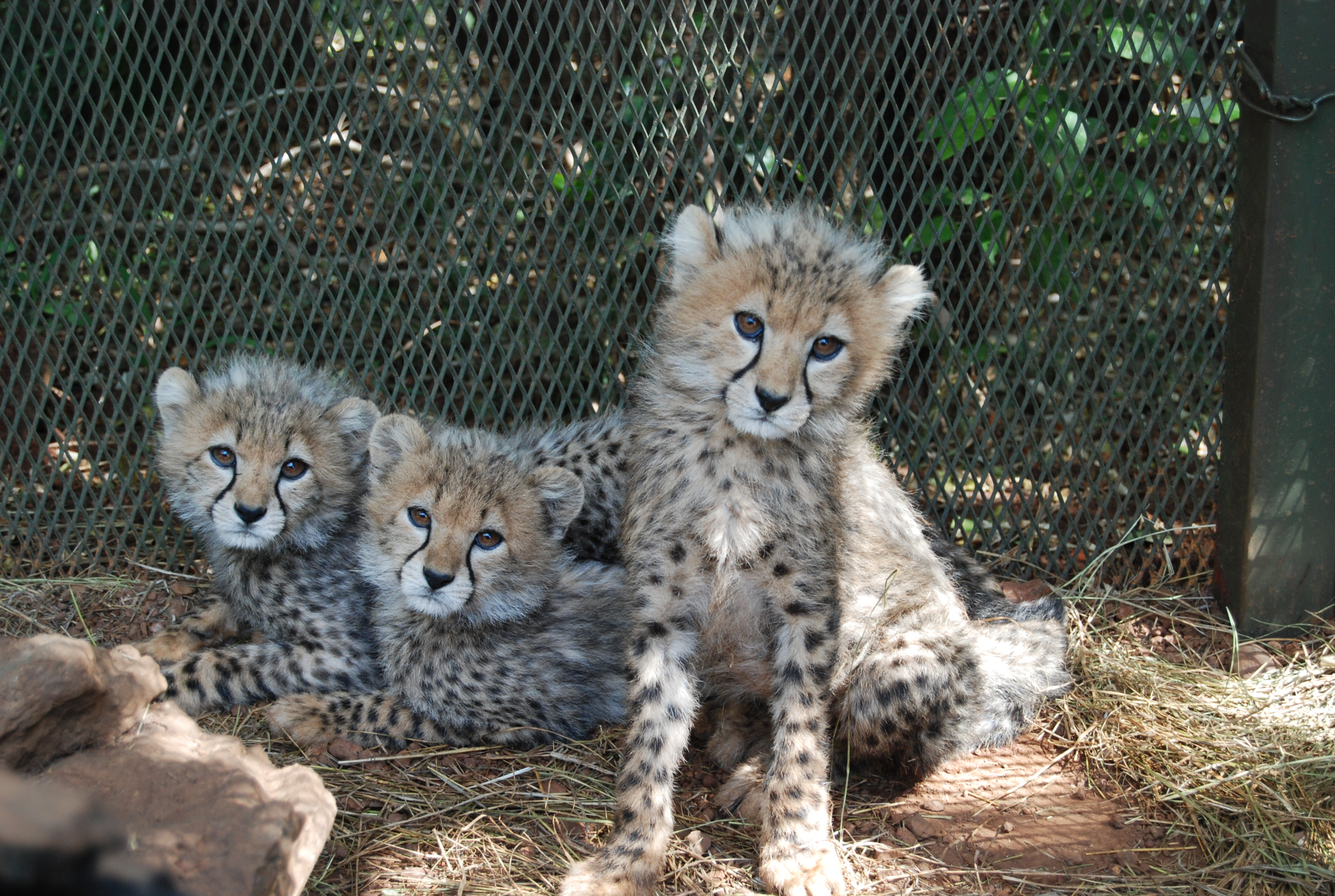 pictures of cheetahs faces