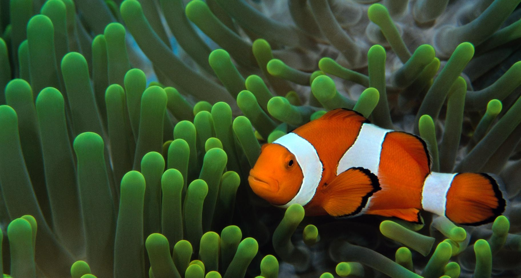 Clown Fish Widescreen Wallpaper