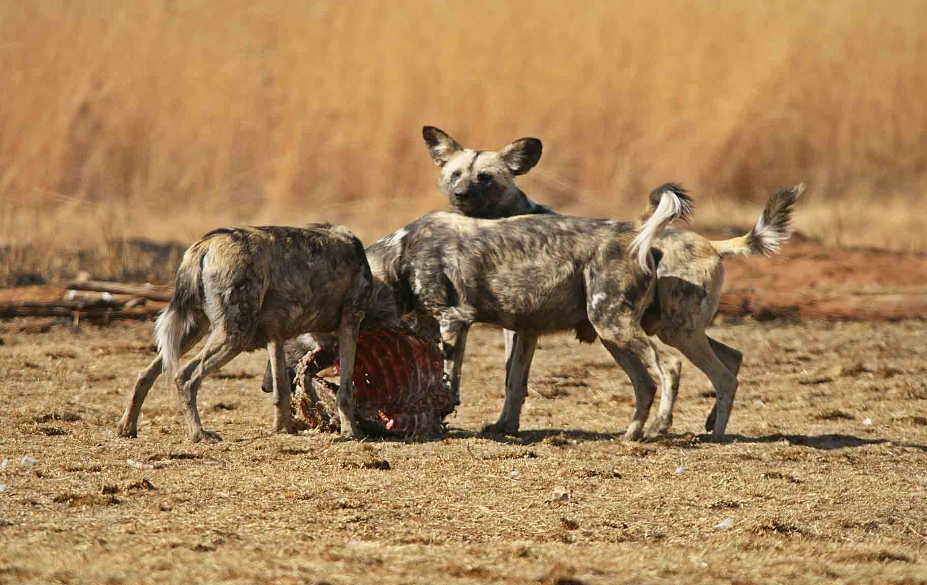African Wild Dogs Latest HD Wallpapers Free Download | HD Free ...