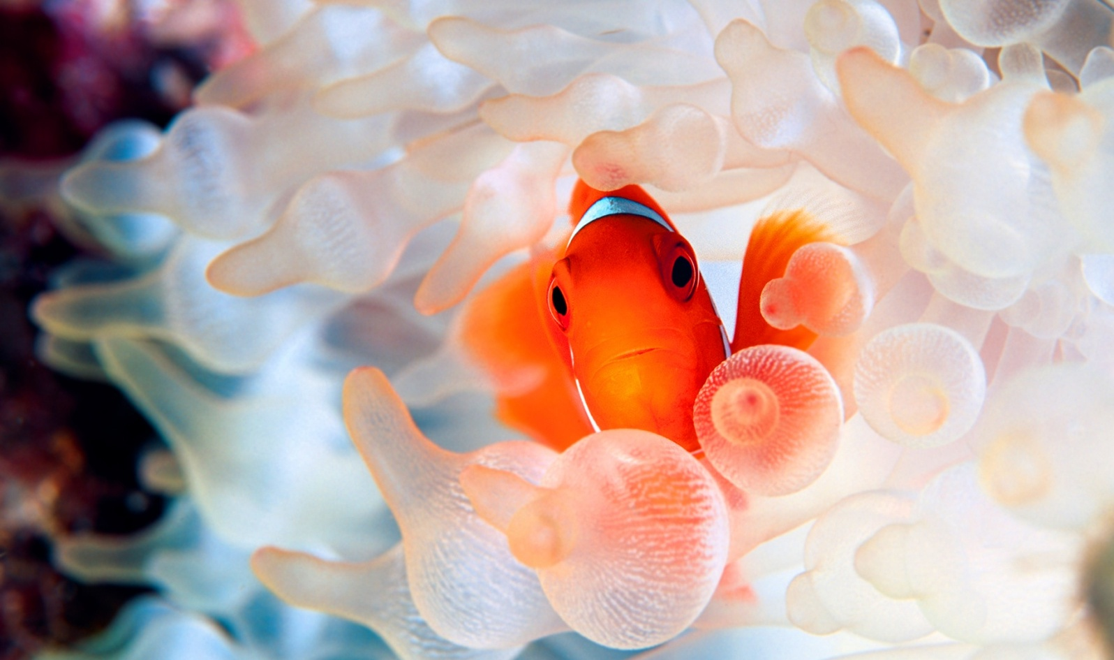 Clown Fish Wallpaper Clown fish face wallpaper