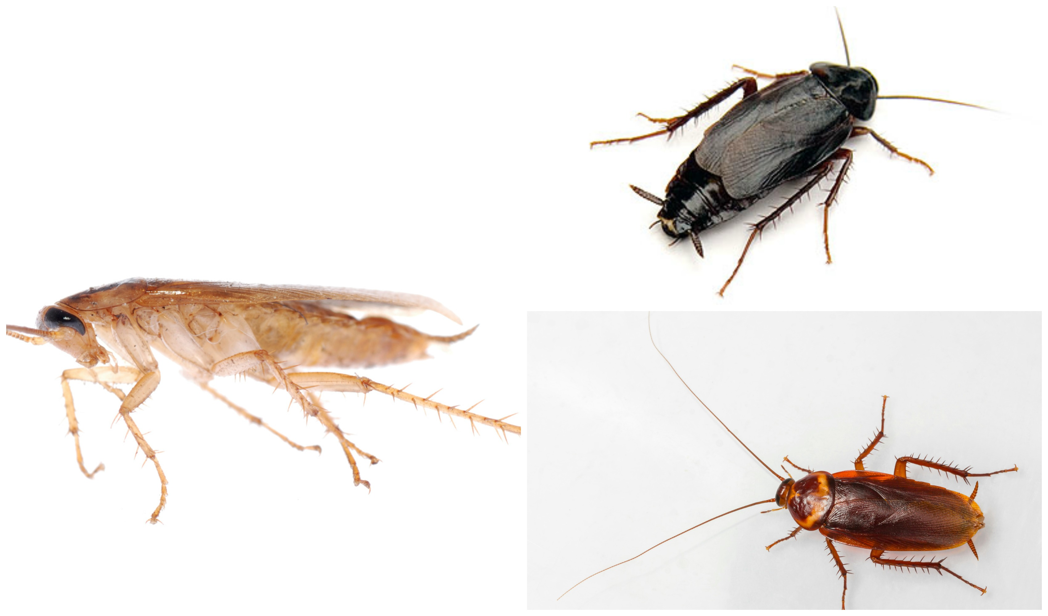 types of roaches pictures