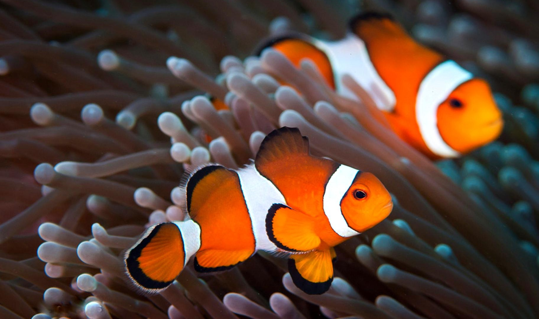 Clown Fish Wallpaper Widescreen Clown fish wal