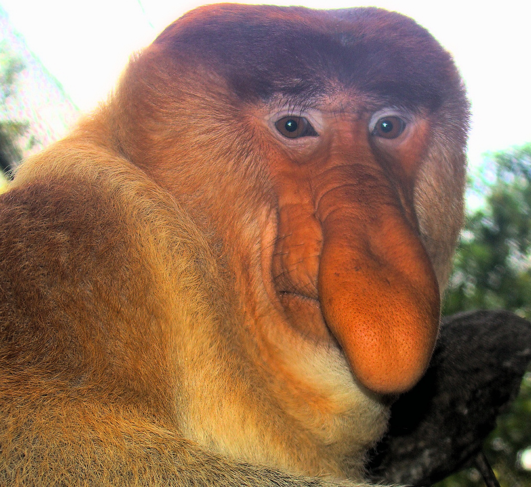 Descripción Portrait of a Proboscis Monkey.jpg