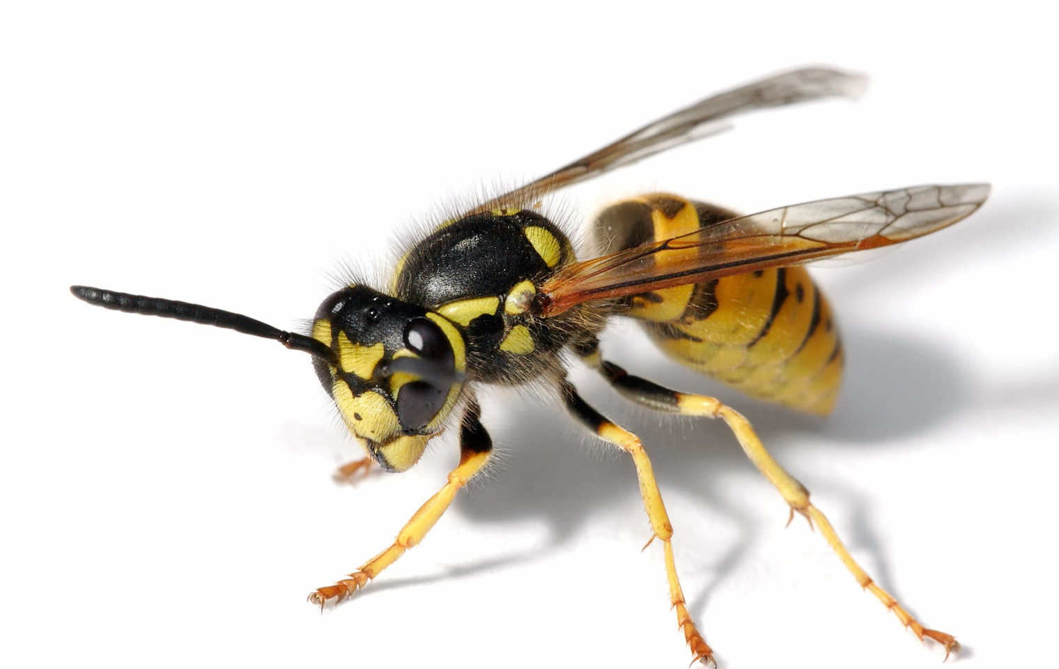 Control Wasps, Hornets and Yellowjackets | How To Build A House