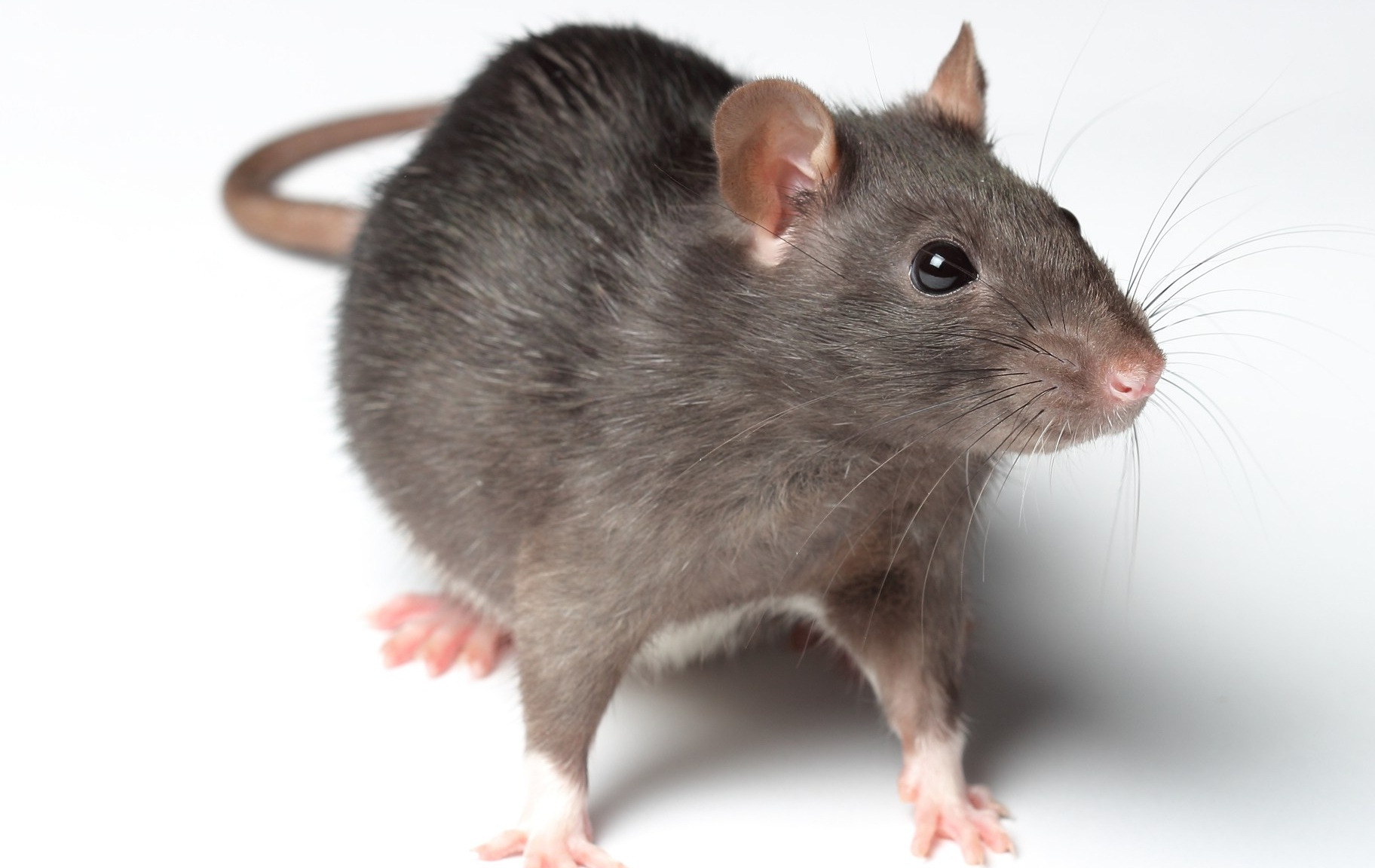 Tips on How to Get Rid of RatsLets Rid Of