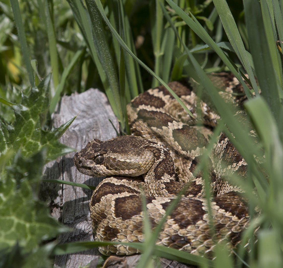 North American rattlesnakes are part of the ecosystem at Effie Yeaw ...