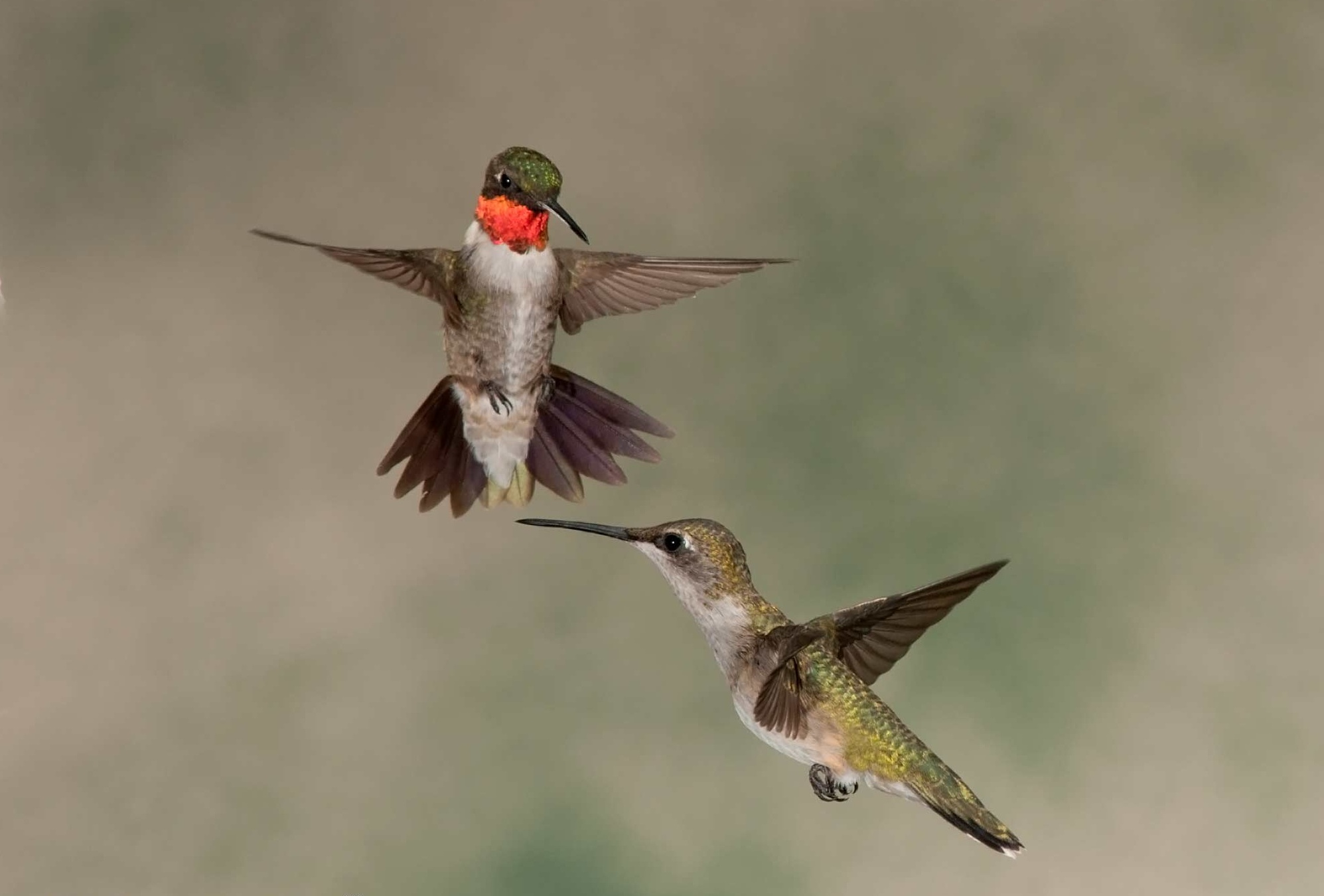 Ruby-throated Hummingbird Aggressive Behavior