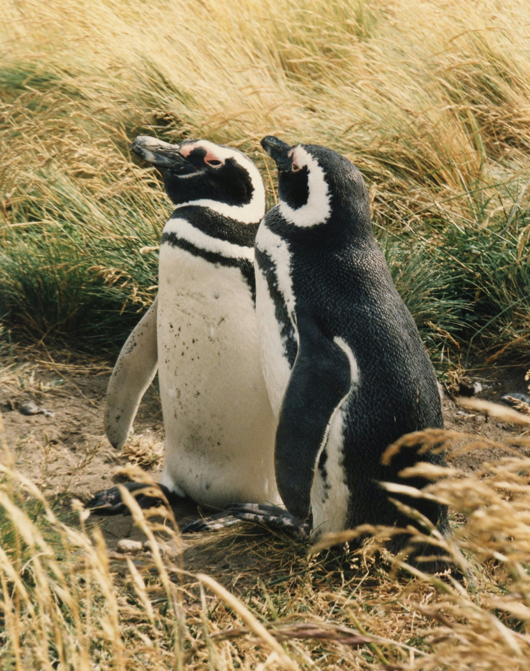 magellanic penguin pictures