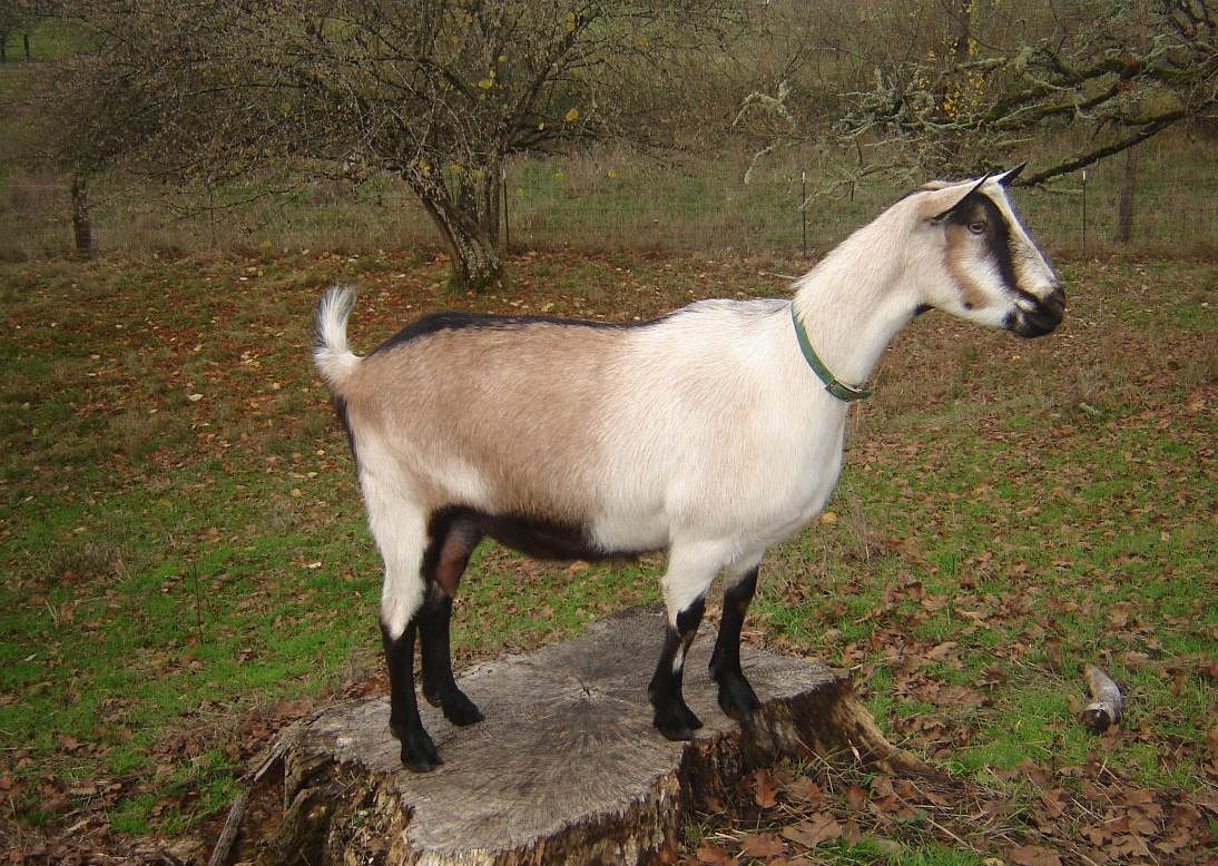 alpine goat pictures