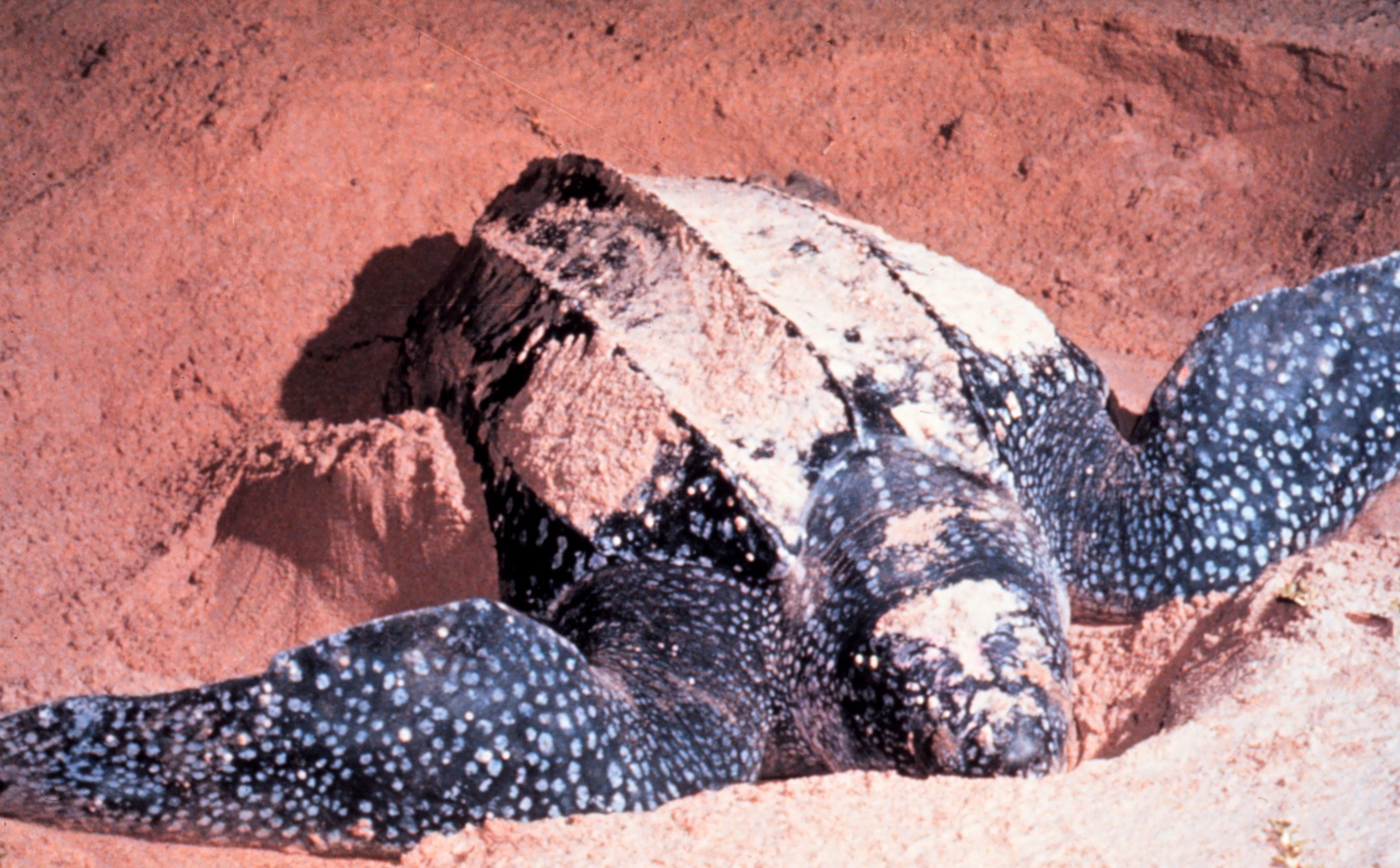 Leatherback Sea Turtle - Redorbit