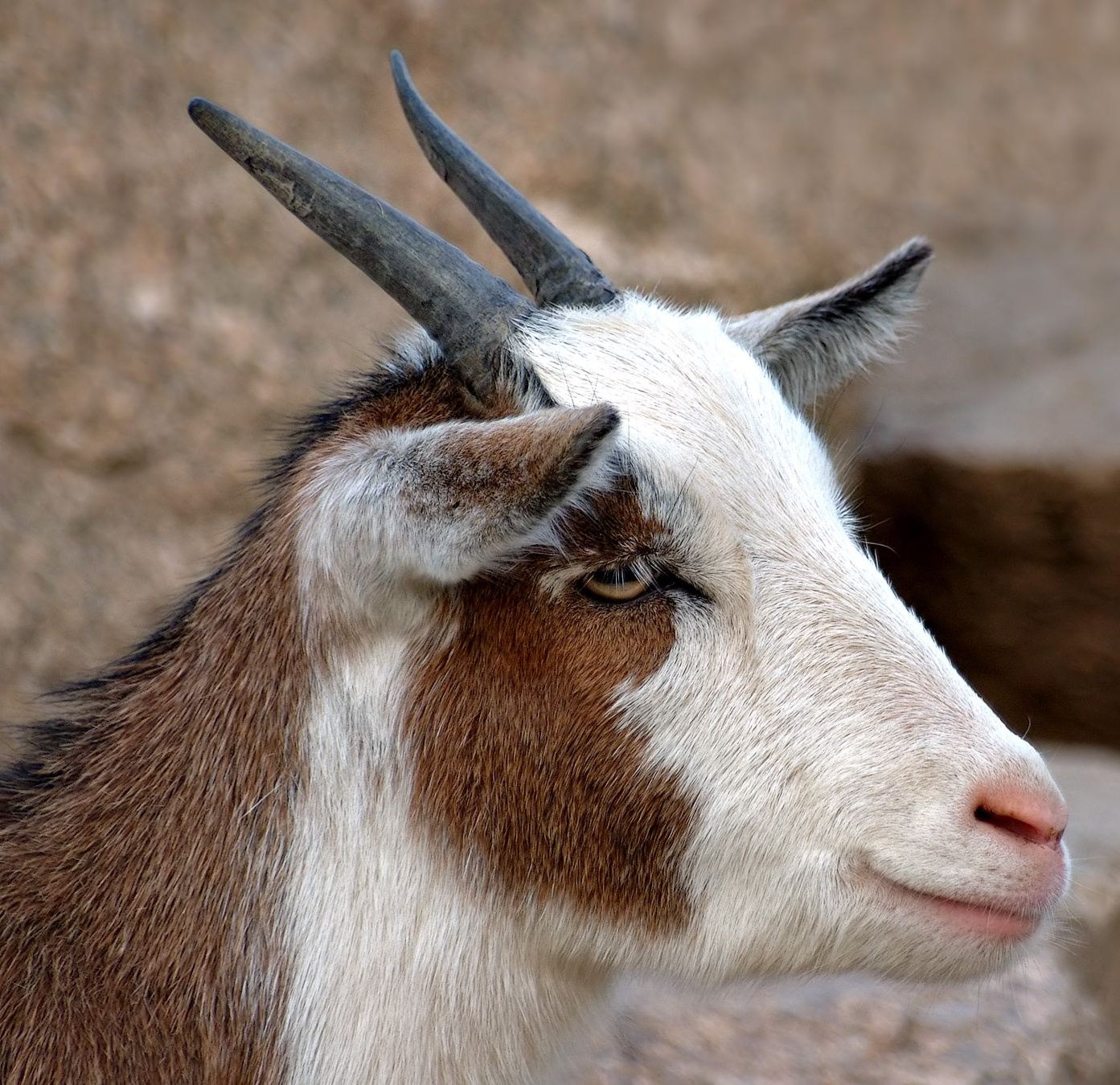 Description Domestic Goat Portrait (aka).jpg
