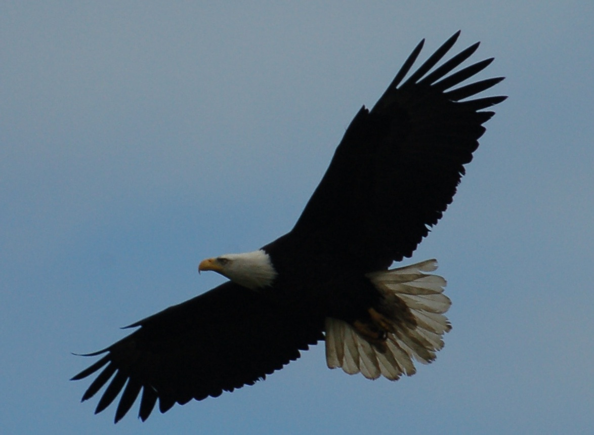 eagle in flight3