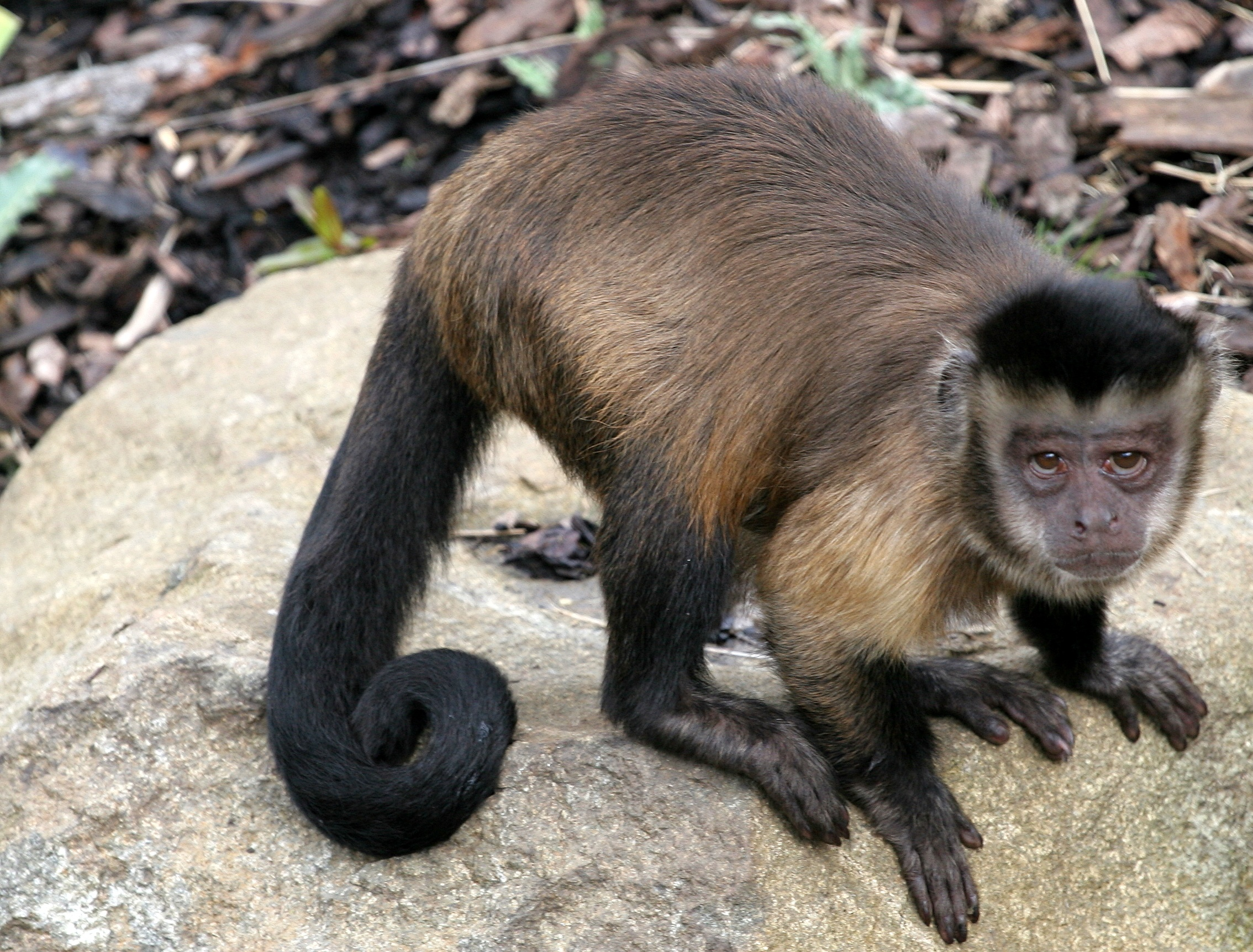 Capuchin and other monkey species are not well suited to being pets ...