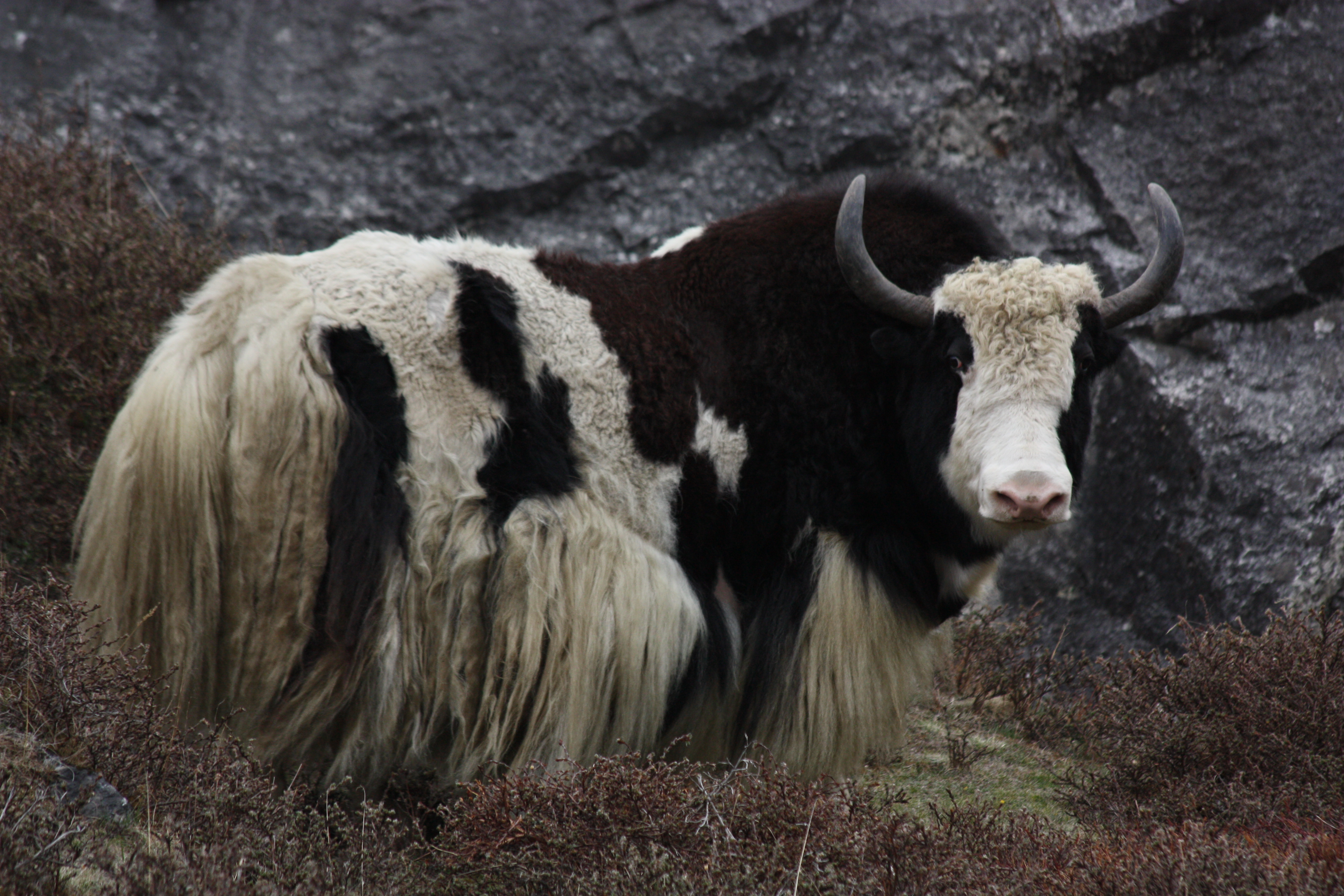 ... .com/Yak-Facts-Info-About-Yaks/the-yak-tastiks-Yak-links.html