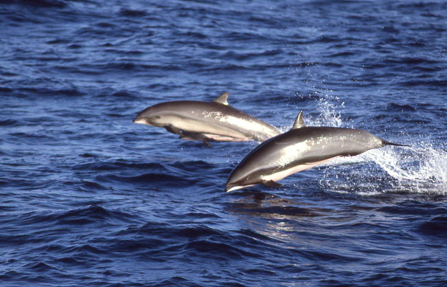 Fraser's Dolphins (photo Bob Pitman