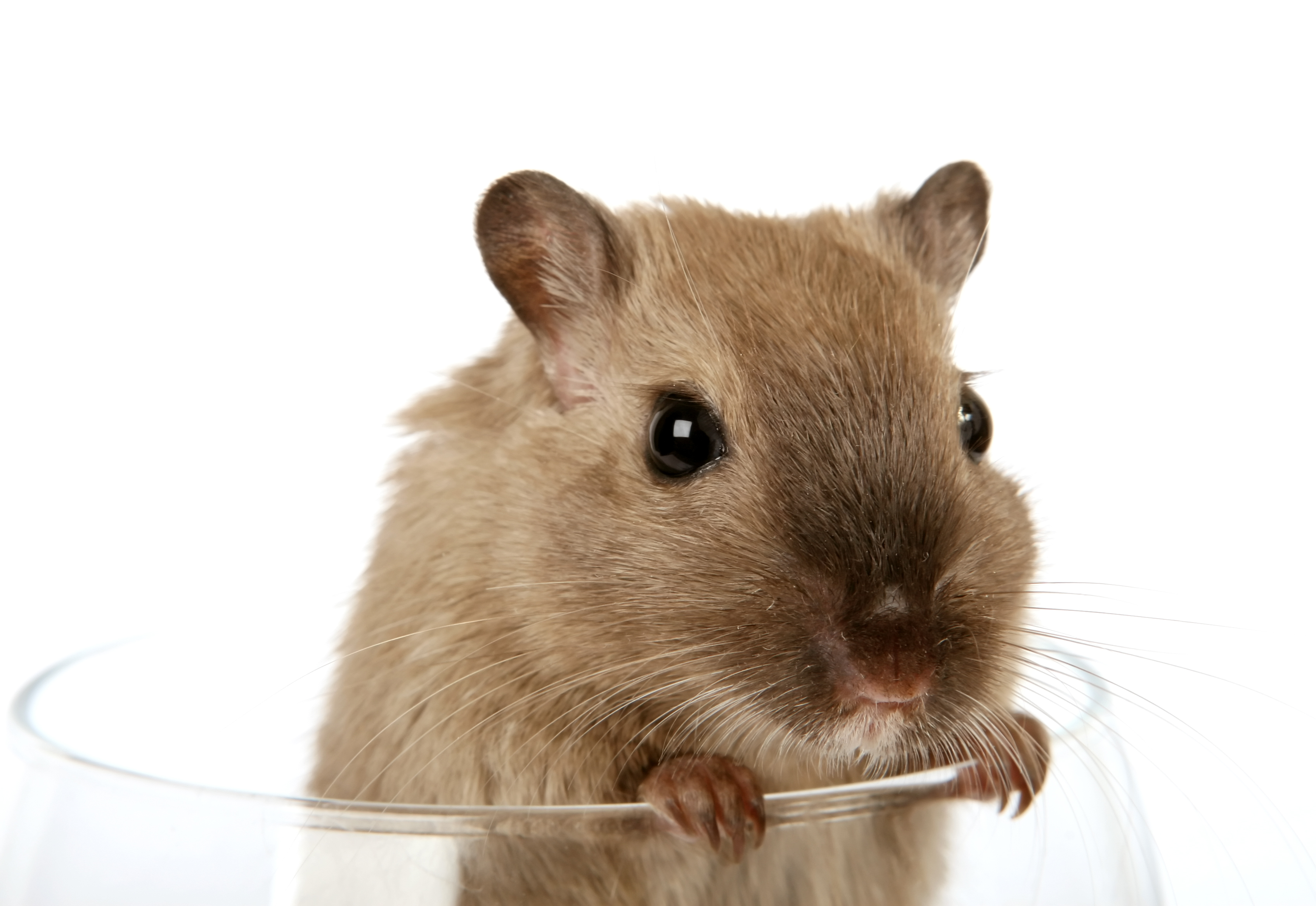 research performed on rats have shown that when rats are fed on a diet ...