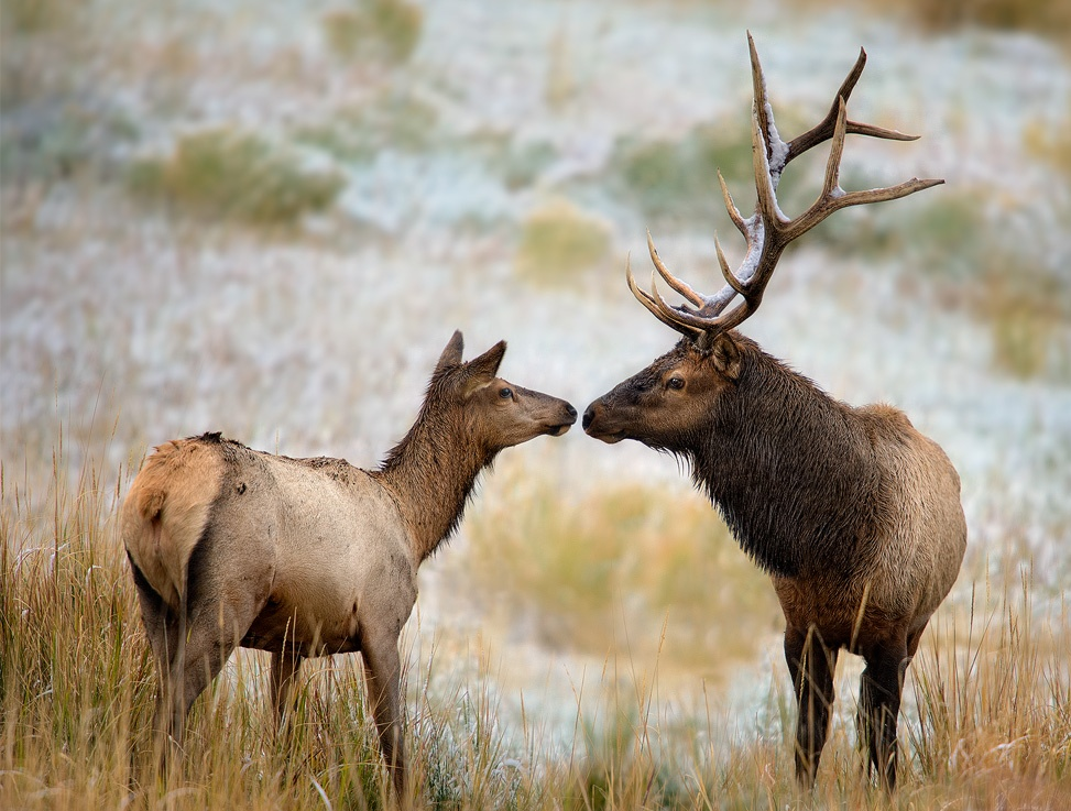 Bull Elk Wallpaper Nose to nose - a bull and cow