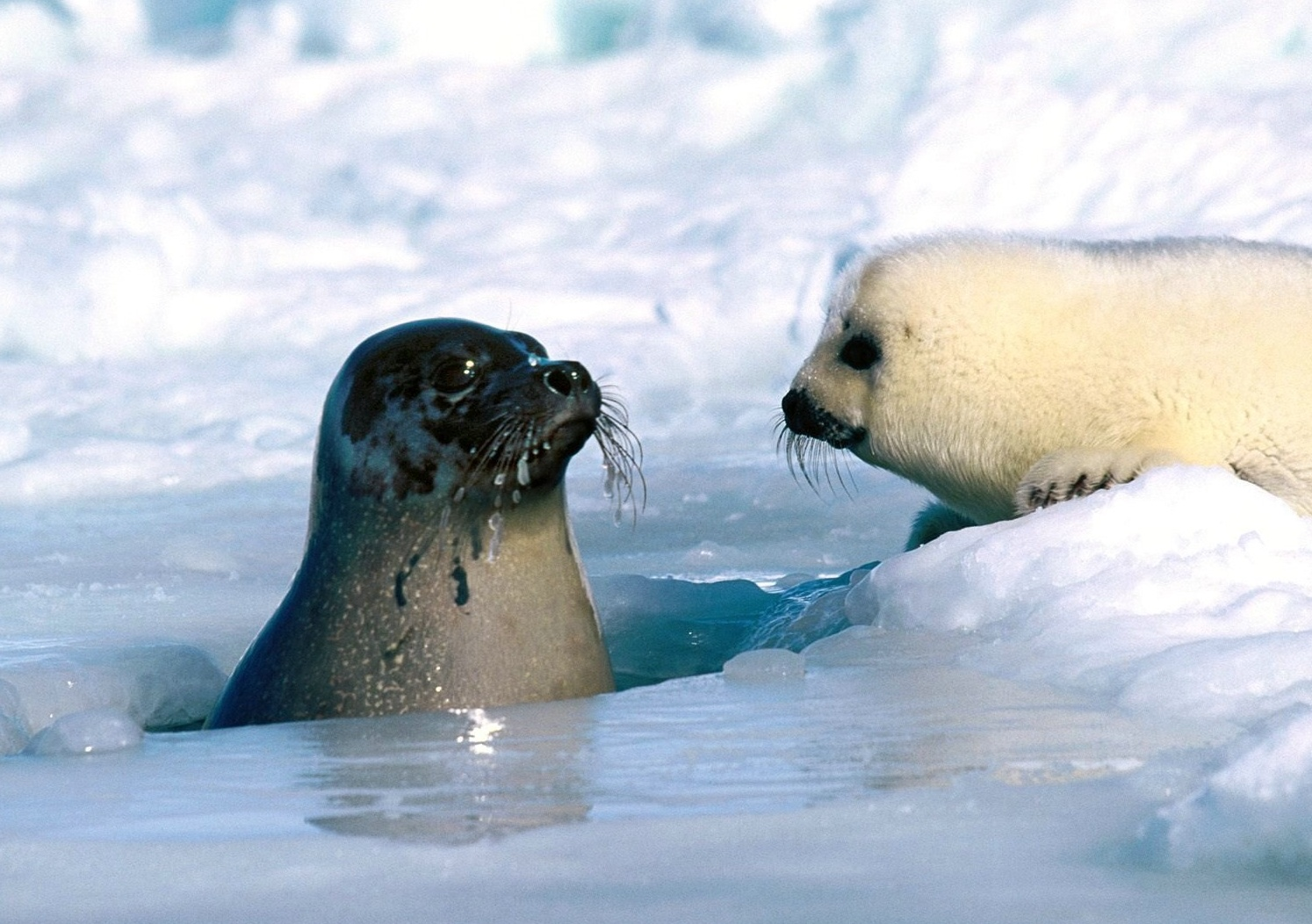 pictures of harp seals