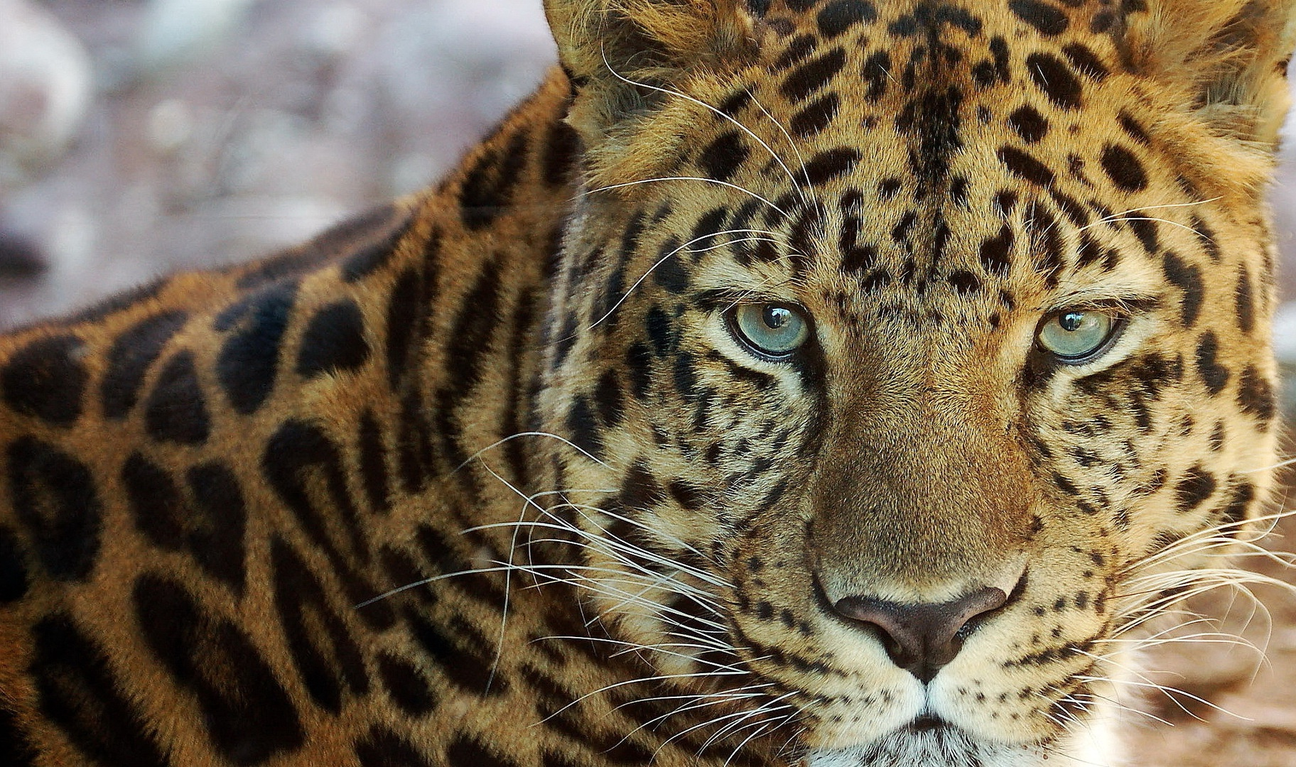 Leopard wallpapers and images - wallpapers, pictures, photos