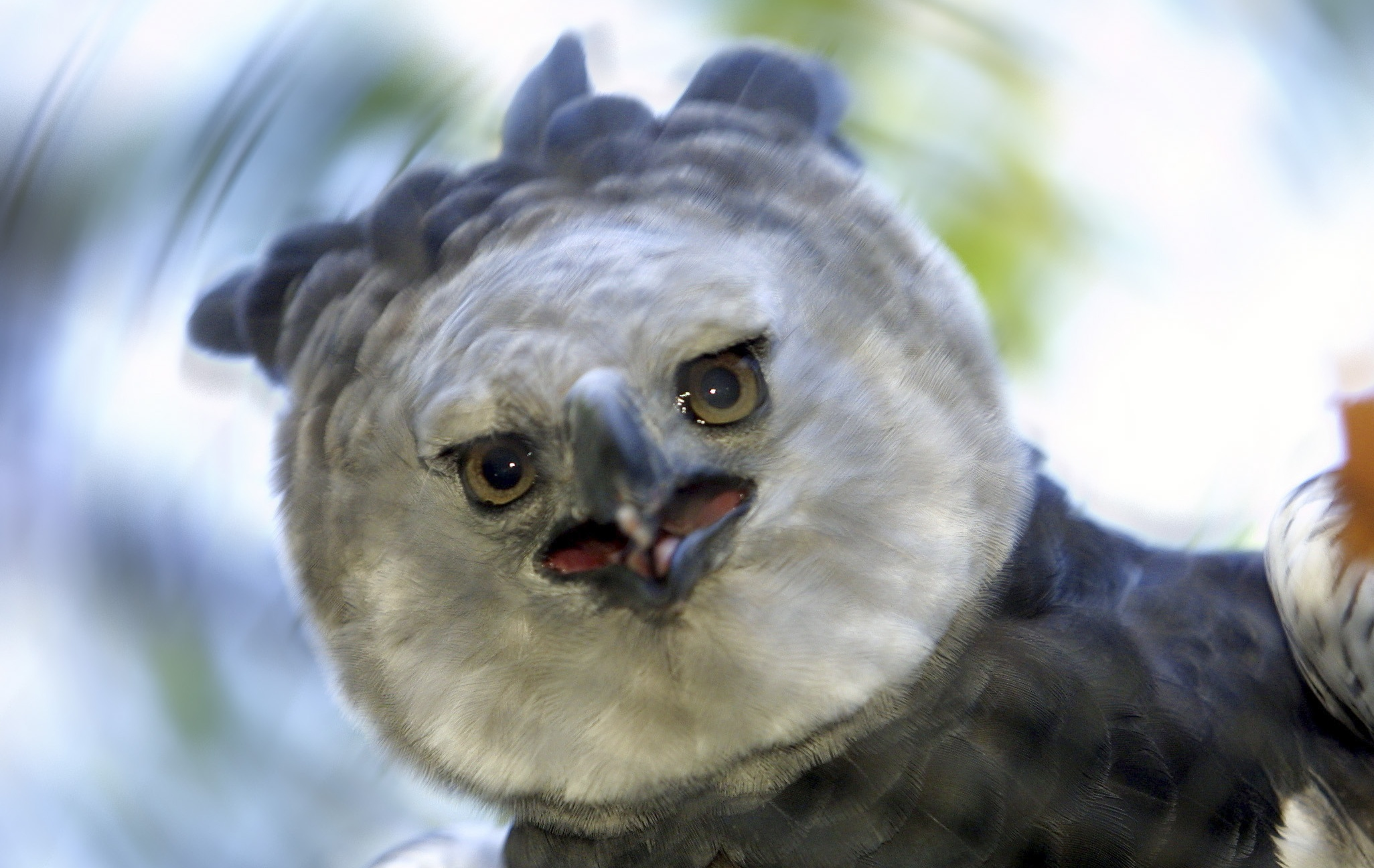 pictures of harpy eagle