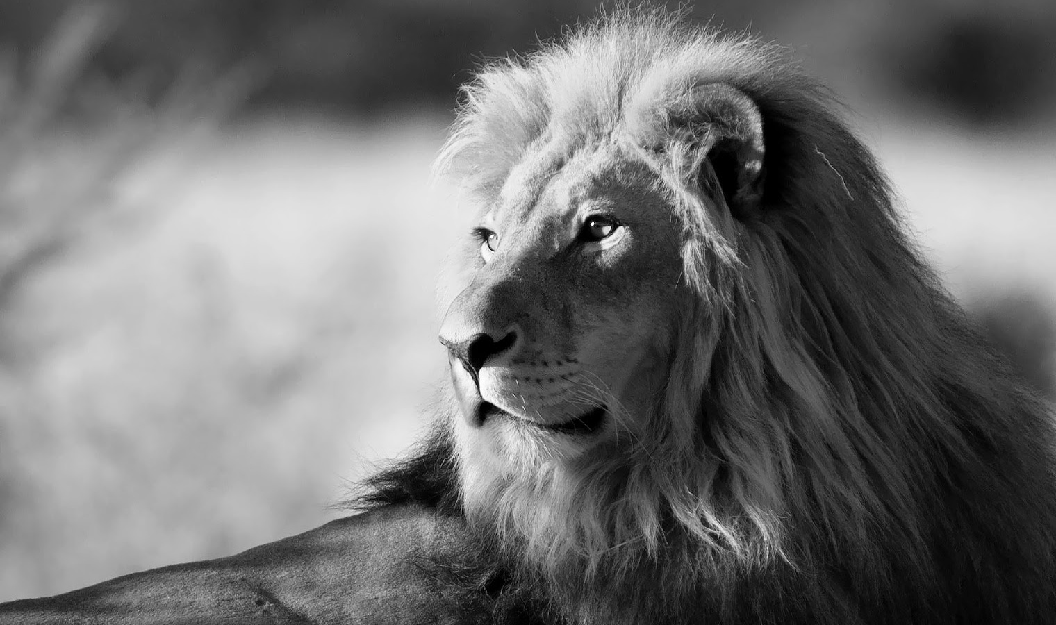 Black and White Picture of a Lion on Animal Picture Society