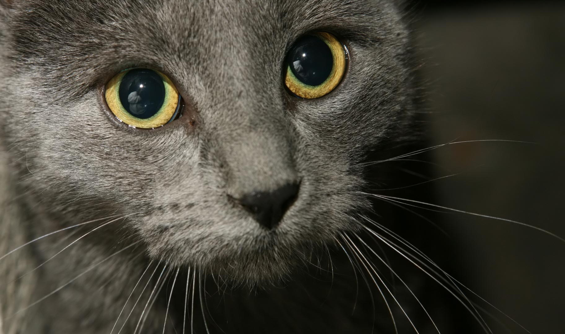 picture of russian blue cat