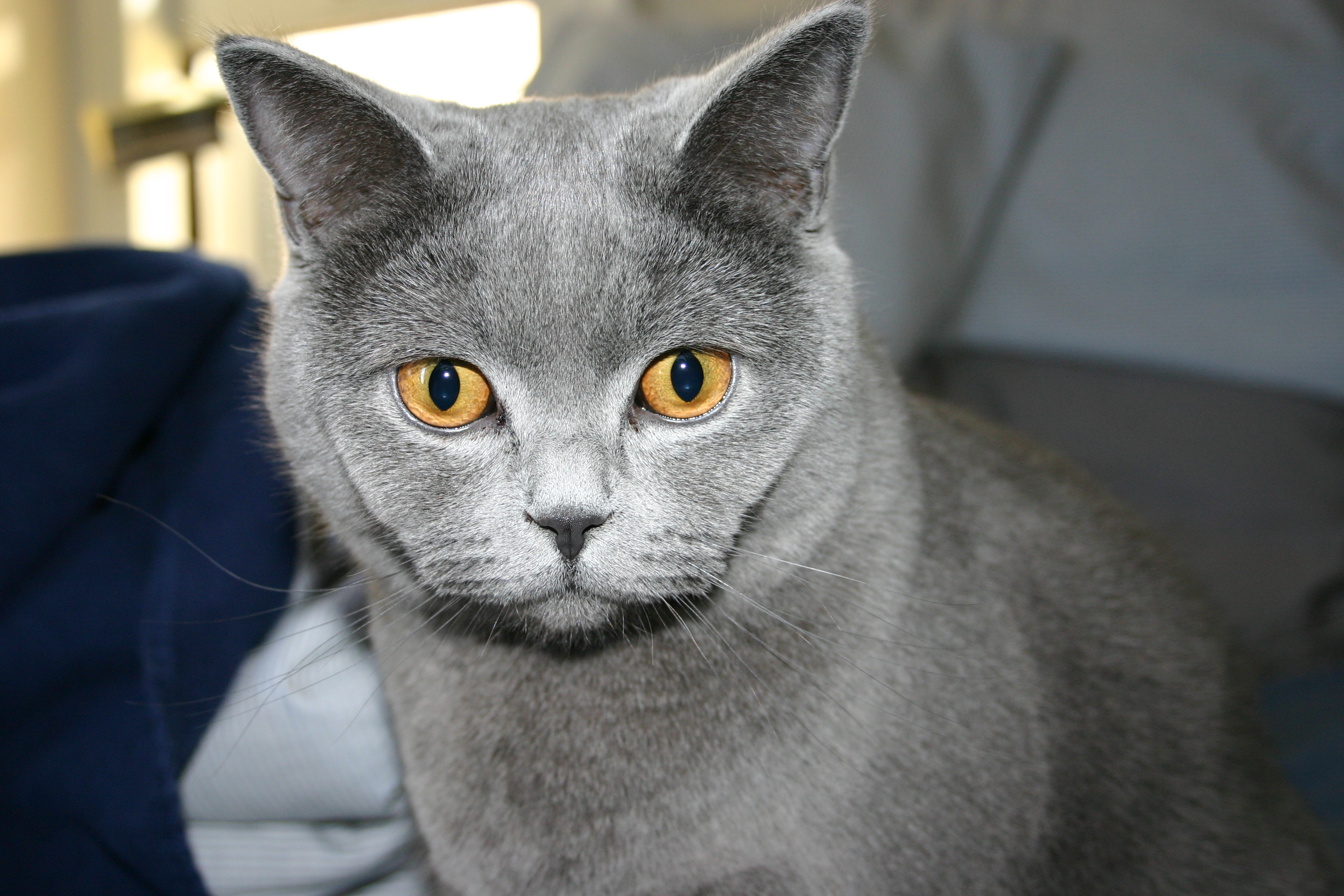 Russian Blue Cats Wallpaper | Russian Blue Cat Photos | Cool ...