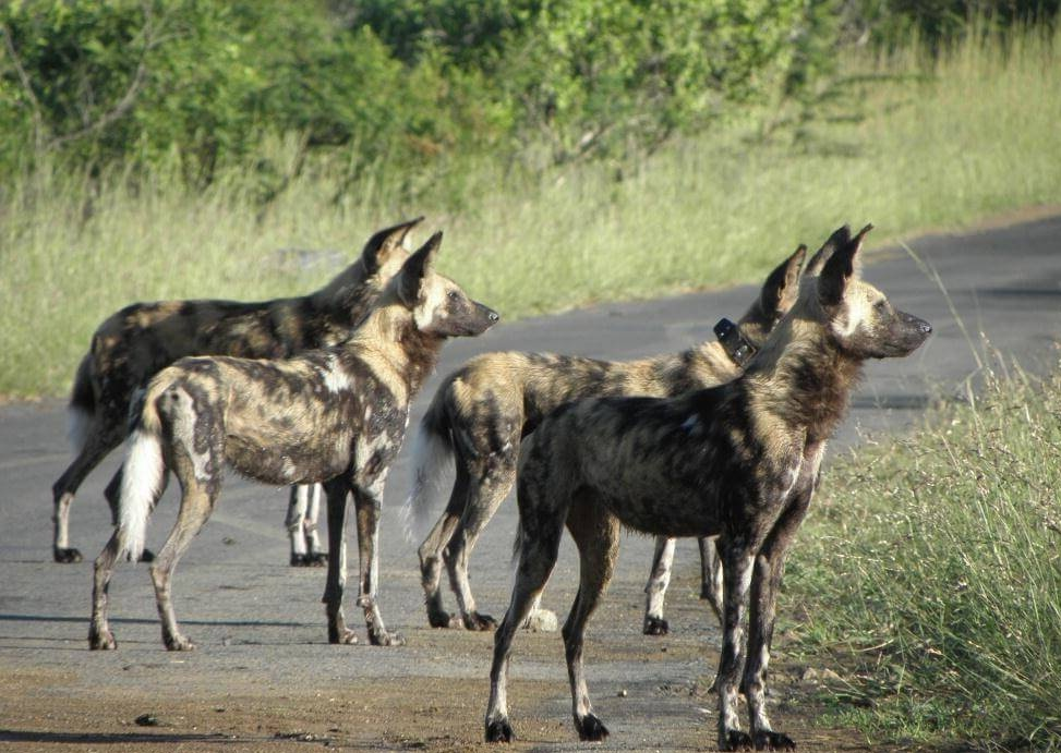 wild dogs in the umfolozi park - Hluhluwe Game Reserve