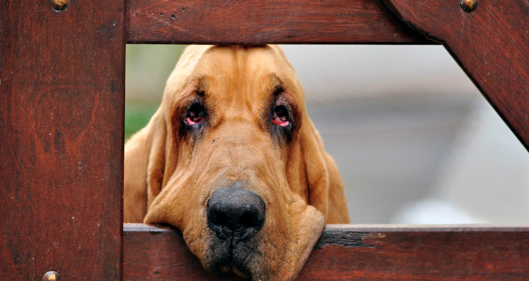 Bloodhound became sad wallpapers and images - wallpapers, pictures ...