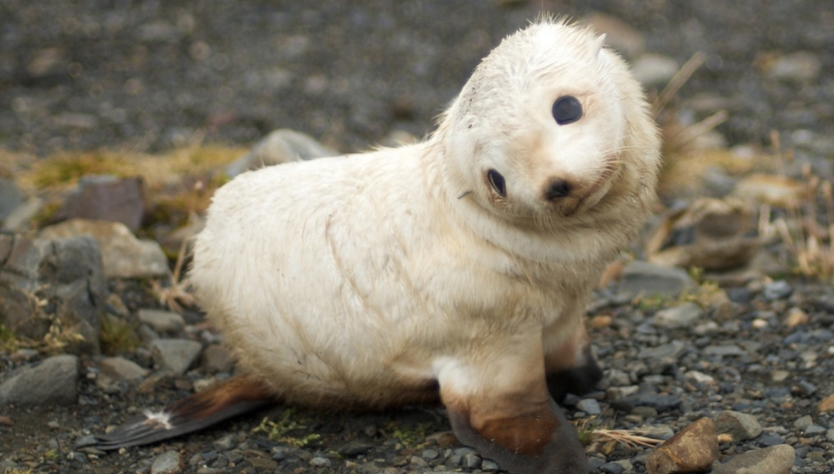 picture of baby seal