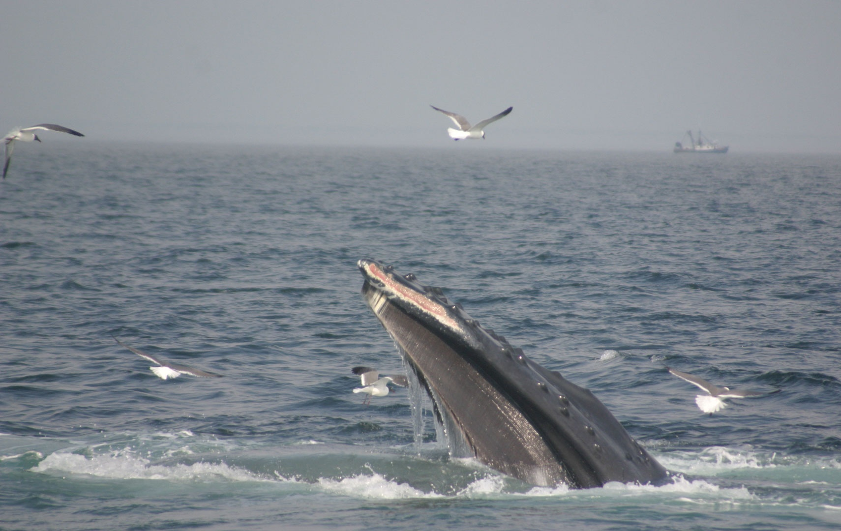 ... of tagged humpback whales in Stellwagen Bank National Marine Sanctuary
